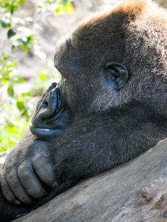 Gorilla im Loro Park, Teneriffa © Susanna Wiedermann Monkey, Park, Animals, Last Minute Vacation, Teneriffe, Jumpsuit, Animales, Animaux, Monkeys