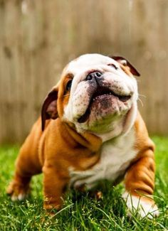 5 amazing fun facts about Bulldogs, never knew this fact :)