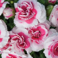 Garden Flowers - Annuals Or Perennials Carnation Dianthus 'Strawberry Cream' Blooming Flowers, Purple Flowers, Wild Flowers, Beautiful Flowers, Biennial Plants, Hanging Herbs, Bouquet, Pink Garden, Carnations