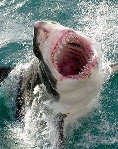 I love Shark Week! Sharks are crazy!! They are 85% muscle and reach up to speeds of 40 miles per hour when attacking their prey. #FunSharkweekfacts#BITE