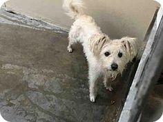 Pasadena, CA - Cairn Terrier Mix. Meet TONY, a dog for adoption. http://www.adoptapet.com/pet/17285997-pasadena-california-cairn-terrier-mix