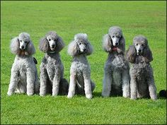 Five champions from G'Day Poodles, Australia. Owned and trained by Linda Johnson