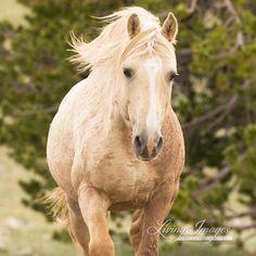*Cloud, the wild stallion of the Pryor Mountains in Montana