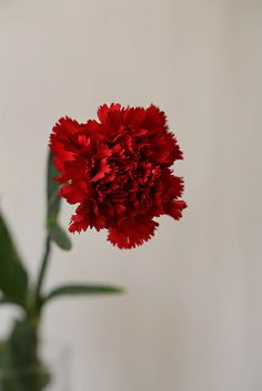 Karanfil - Carnation by Atila Yumuşakkaya