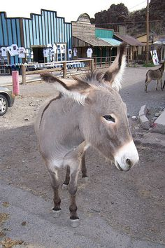 """Wild"" burros in Oatman, AZ. Love seeing these burros in Oatman!!"