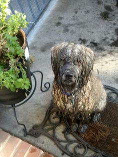 My muddy Wheaten Terrier!