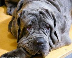 Raças de cachorro - Mastino Napoletano ou Mastim Napolitano #alcanceosucesso