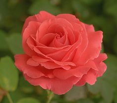 Fast growing and fragrant, this beloved All-America Rose Selections Winner has turned heads since 1976 and remains one of the most highly rated and beautiful climbers in all of rosedom. Sprays of clov