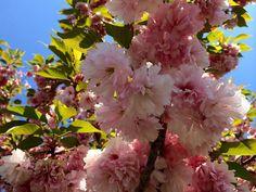 #cherryblossom destinations  tips in #DC #Maryland #Virginia new #ontheblog  FuninFairfaxVA.com  #travel #springiscoming