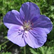 The 'Brookside' True Geranium Plant blossoms in rich, violet-blue with white eyes and has two blooming seasons. It will bloom the first time in late spring and last through midsummer and then will bloom again in early fall, its blossoms remaining until the first frost.
