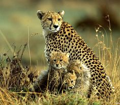 Cute Alert: Cheetah Cub Photos - AmO Images - AmO Images