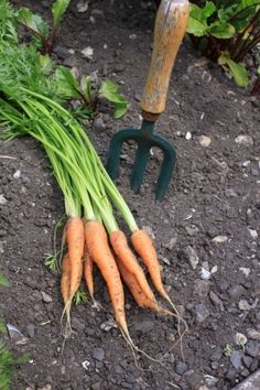 Growing Organic Carrots; and an overall great website