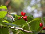 Cherokee Recipes from Momfeather. Spicewood Tea - (Gv-nv-s-dv-tli)Small twigs of SpicewoodBoil twigs in water and serve hot. Sweeten if desired. Molasses or honey makes the best sweetening. Gather spicewood twigs in the spring when the buds first appear.