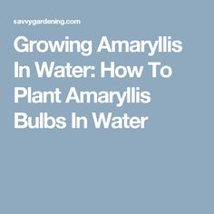 Growing Amaryllis In Water: How To Plant Amaryllis Bulbs In Water