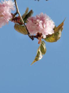 ' japanische Kirschblüte 01' von Mika Iwakiri