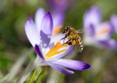 Ralph Dutli über Bienen : Die Welt als Honig und Vorstellung - Autoren - FAZ