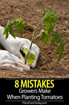 Tomato plant problems, we share 8 common tomato growing mistakes and how to avoid them when planting, increase size, flavor, and overall output. Backyard Vegetable Gardens, Veg Garden, Lawn And Garden, Outdoor Gardens, Garden Types, Edible Garden, Marigolds In Garden, Garden Plants, Growing Gardens