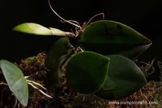 I have changed the planting to trial a variety of terrarium plants – this terrarium currently features ferns, mosses, and miniature orchids. Orchid Propagation, Miniature Orchids, Terrarium Plants, Orchid Plants, Plant Leaves, Pumpkin, Pumpkins, Squash