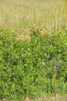 Bullock's Oriole ©Steve Frye. Wild Bird Center of Boulder, CO Saturday Morning Bird Walk in Boulder County – June 5, 2014.
