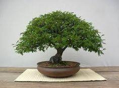 Resultado de imagem para bonsai cambui