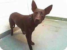 NEGRA...Miami, FL - Labrador Retriever/German Shepherd Dog Mix. Meet NEGRA, a dog for adoption. http://www.adoptapet.com/pet/12236133-miami-florida-labrador-retriever-mix