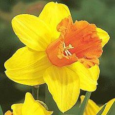 Fortissimo Daffodil