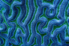 Blue green coral labyrinth from Belize.
