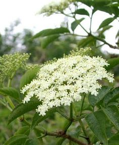 Ten Medicinal Herbs for your Garden, a conversation with Jeff Carpenter of Zack Woods Herb Farm Elderberry Season, Champagne, Herb Farm, Herbs For Health, Health Tips, Flower Meanings, Plant Identification, Language Of Flowers, Edible Plants