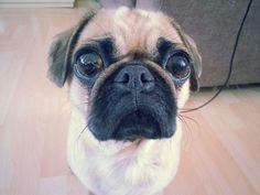 Bug-eyed pug