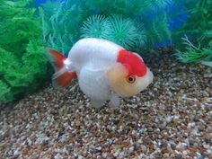 Golden Fish, Beautiful Fish, Fish Print, Auction Items, Freshwater Fish, Aquarium Fish, Fresh Water, Persian Cats, Photoshop