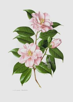 Botanical prints from Paul Jones The Camellia Illustration Botanique, Plant Illustration, Botanical Illustration, Watercolor Illustration, Arte Floral, Motif Floral, Botanical Flowers, Botanical Prints, Watercolor Projects