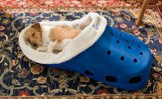 Tiny dog or big shoe?