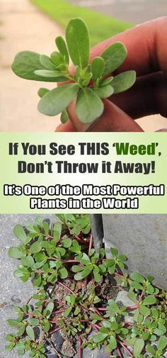 Purslane, or known as Portulaca oleracea, is a common weed that may be even growing in your own garden right now, without your explicit invitation. This plant f