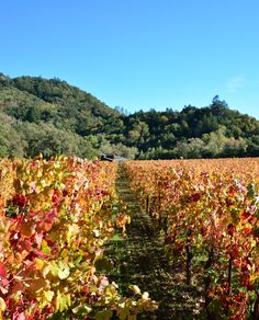 Autumn colors at Hafner Vineyard in Sonoma County's Alexander Valley.