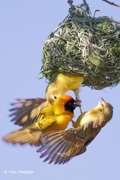 Southern Masked Weaver (Ploceus velatus) A male and female trying to drive out an intruder. (Bishop bird: female)