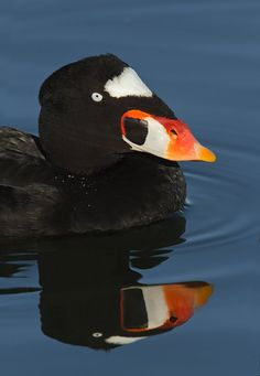 Surf Scoter, Melanitta perspicillata:  a large sea duck, which breeds in Canada & Alaska. It winters further south in temperate zones, on the coasts of the northern U.S. Small numbers regularly winter in W Europe as far S as the British Isles
