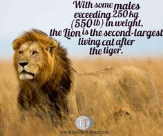 Interesting Fact www.teelieturner.com The second-largest living cat after the tiger... #truefact
