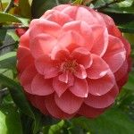 Camelia -  One of my favorites!