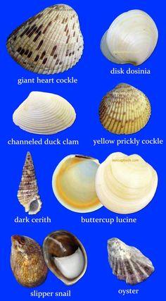Sancapstar Shell Guide Page 2 - Nature Seashell Art, Seashell Crafts, Beach Crafts, Starfish, Seashell Identification, Seashell Projects, Sand Projects, Shell Beach, Shell Jewelry