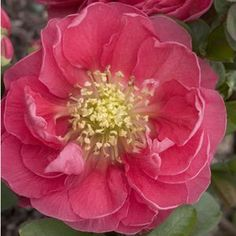 Seen this Spring flowering shrub blooming in the Greenhouse today. Just love this series of flowering quince! Buy Chaenomeles Double Take Pink Storm Shrubs Online. Garden Crossings Online Garden Center offers a large selection of Quince Flowering Plants. Shop our Online Shrub catalog today!