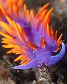 Purple, orange Nudibranch ~ Beautiful Sea Creatures