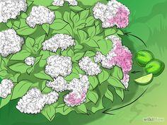 Imagen titulada Change the Color of Hydrangeas Step 1