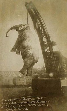 In 1916 a circus elephant, nicknamed Murderous Mary, was hanged in East Tennessee for killing assistant elephant trainer Red Eldridge