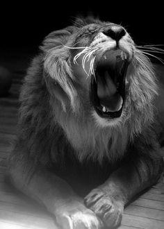 Lion's Roar. S)