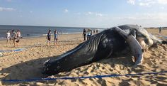 VIRGINIA BEACH — A juvenile humpback whale washed ashore in Virginia Beach Sunday, the third in less than two weeks. Virginia Beach Oceanfront, Save Our Oceans, Whales, Wildlife, Earth, Horses, City, Animals, Collar Stays