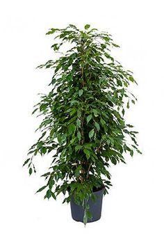 Ficus Benjamina (Vijgenboom)