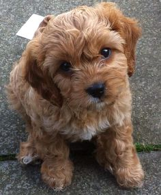 Adorable Cavapoo!