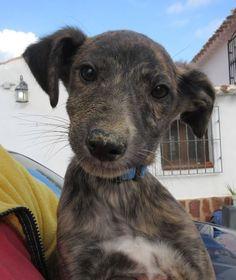 greyhound pup