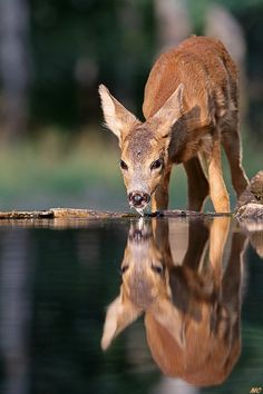 My deer reflection - Deer coming at a drinkstation