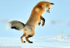 The leap: After 20 minutes prowling and listening for mice, the fox's hind legs are poised to launch him several feet into the air